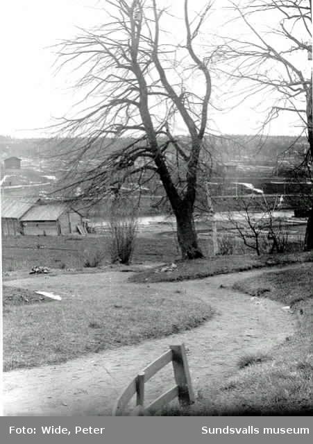 Almarna som var Widegårdens vårdträd.