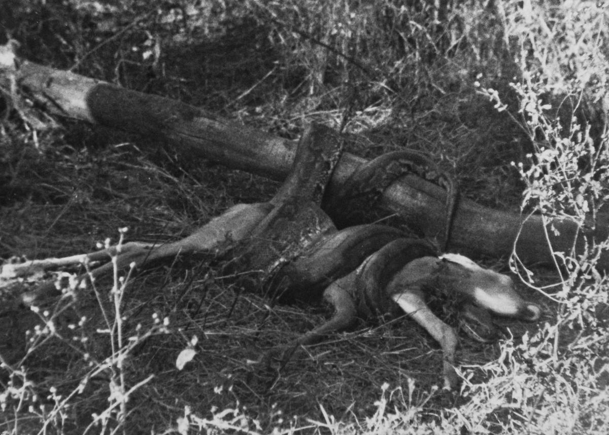 Fra en jaktsafari i området Tanganyika Tanzania)/Kenya. Pytonslange og antilope.