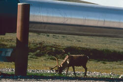Caribou bulls feeding on «revegetated» pipeline pad