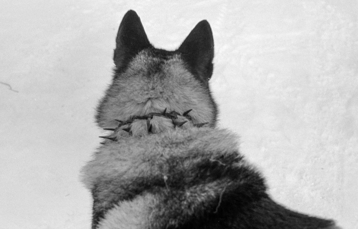Hundehalsbånd