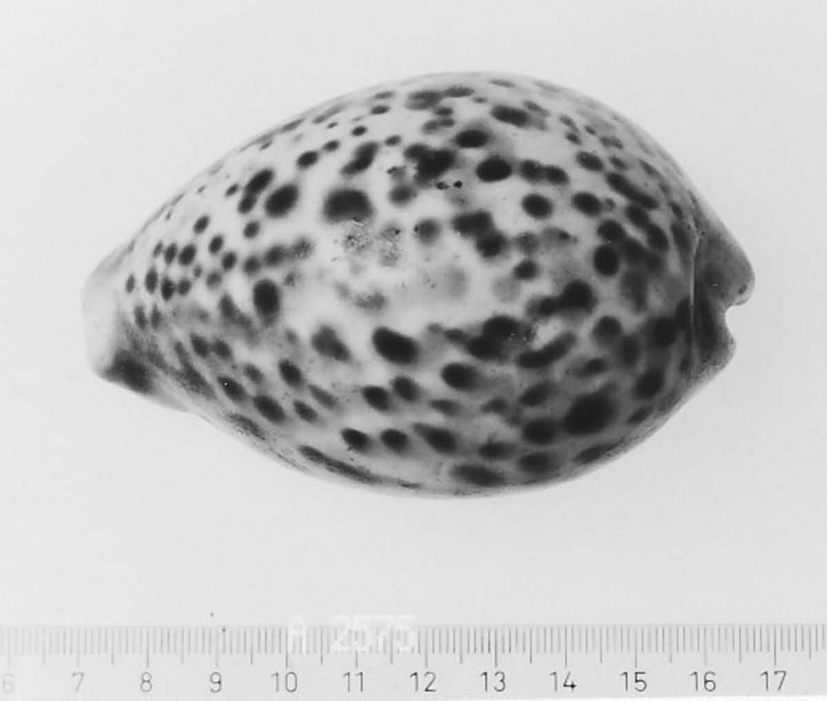 Form: Glatt, nærmest eggformet sett ovenfra.
