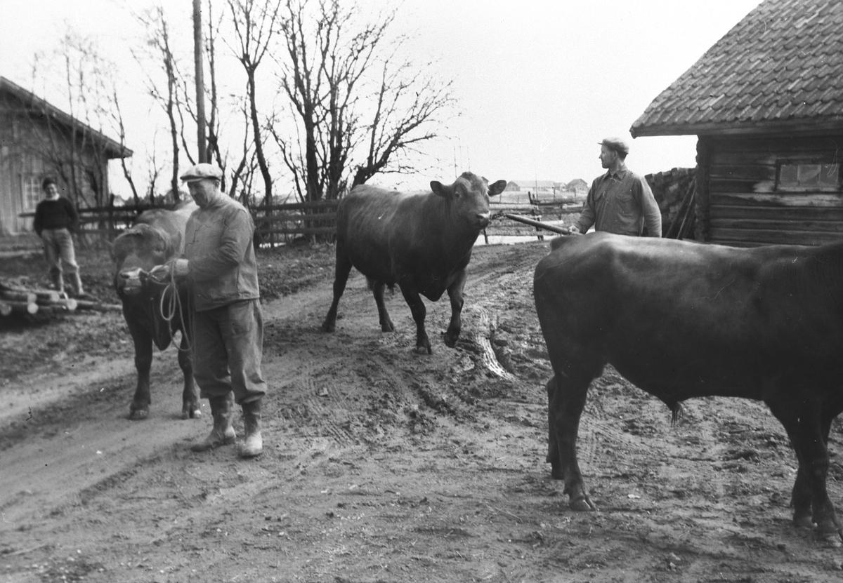 Ivar Wandsemb på Smedsbodding mosjonerer oksene, 1949.