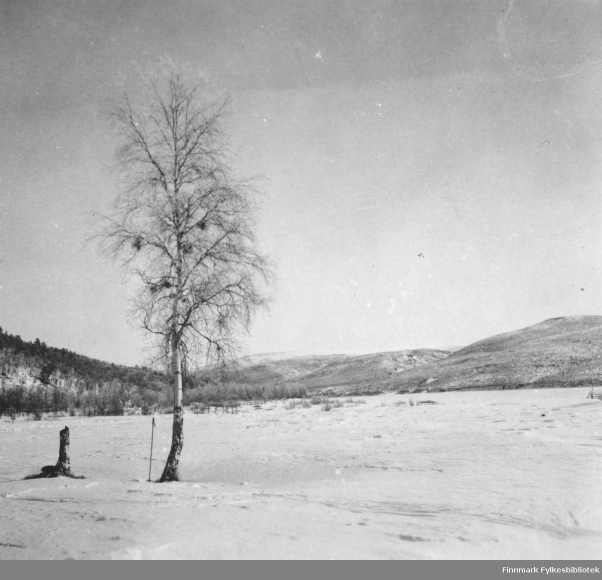 Et stereobilde med vintermotiv fra Tanadalen. det står et stor bjørk midt i bildet.        .