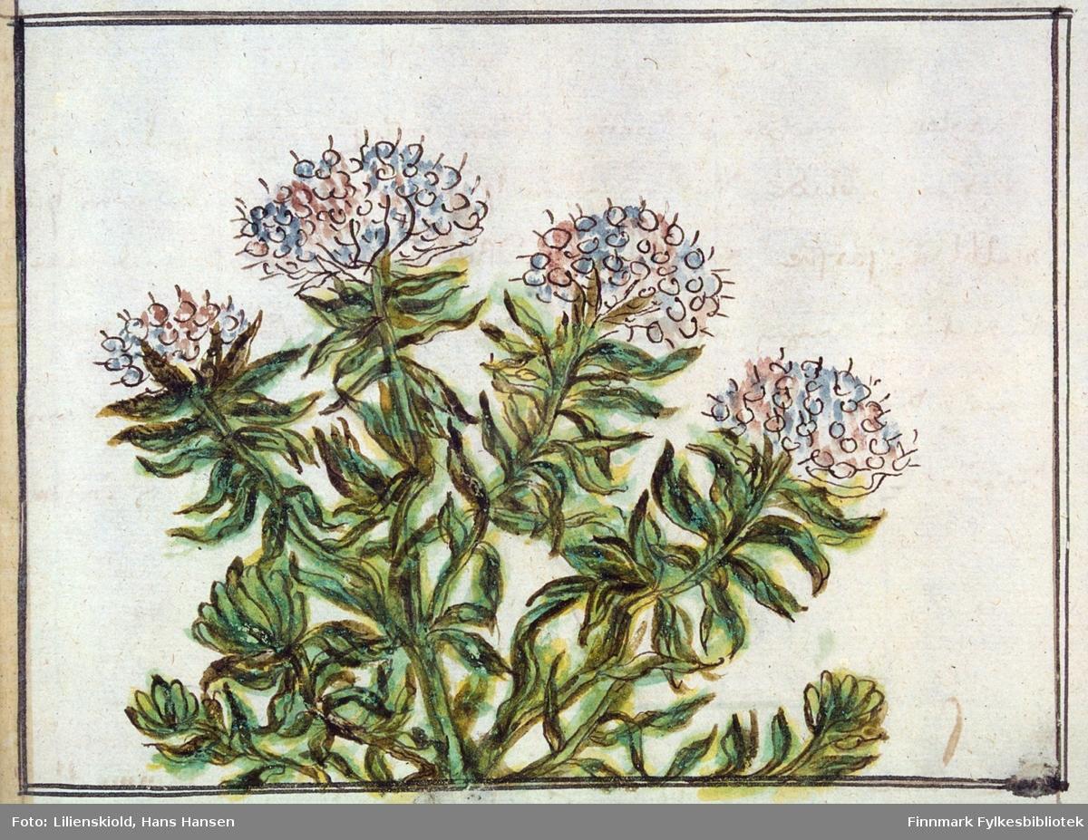 Illustrasjon til beskrivelse av planten Lilienskiold kaller Wilde-Rosmarin eller Finmarchens velrygendis pors - likner finnmarkspors, men er ikke sikkert artbestemt