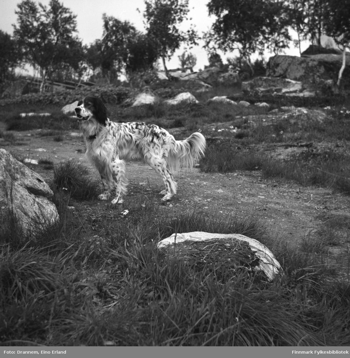 Hunden Rexi fotografert i terrenget.