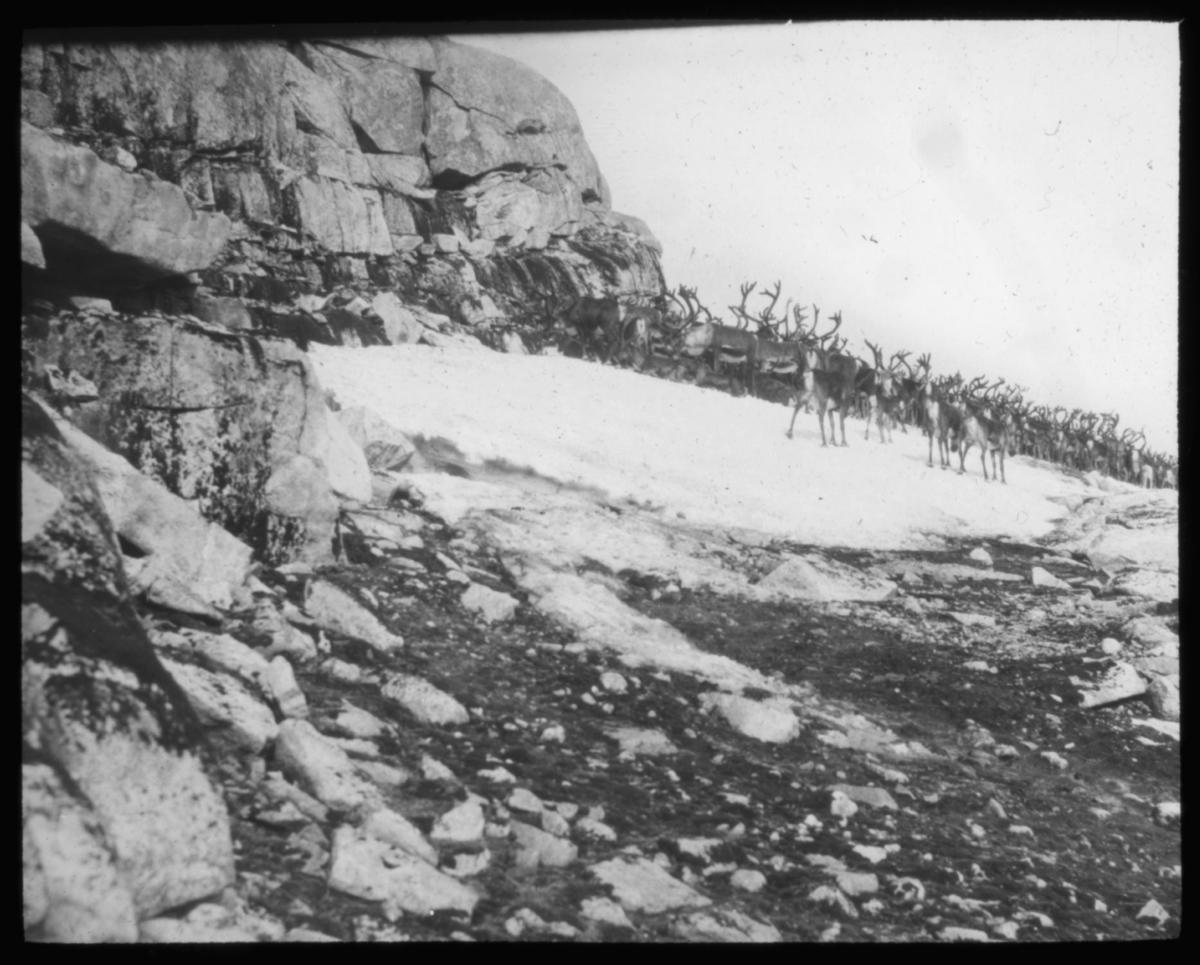 """B,599a.) Reinflokk på snøskavl i Bindalsfjellene."" - Bindal er en kommune på Helgeland i Nordland."