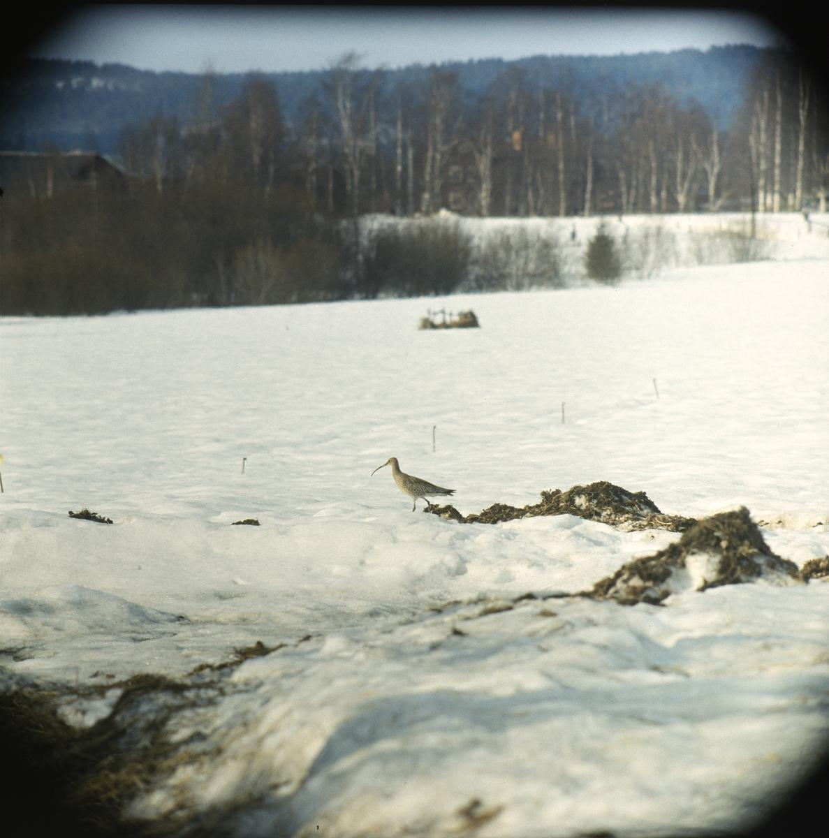 En spov går omkring på en snöig åker.