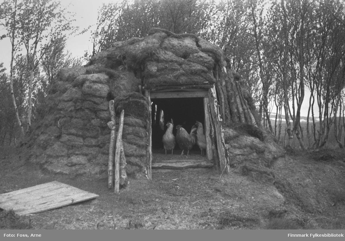 En gamme med høner ved døråpningen, fotografert ved i et sted mellom Smalfjord og Rustefjelbma, juni-juli 1946.