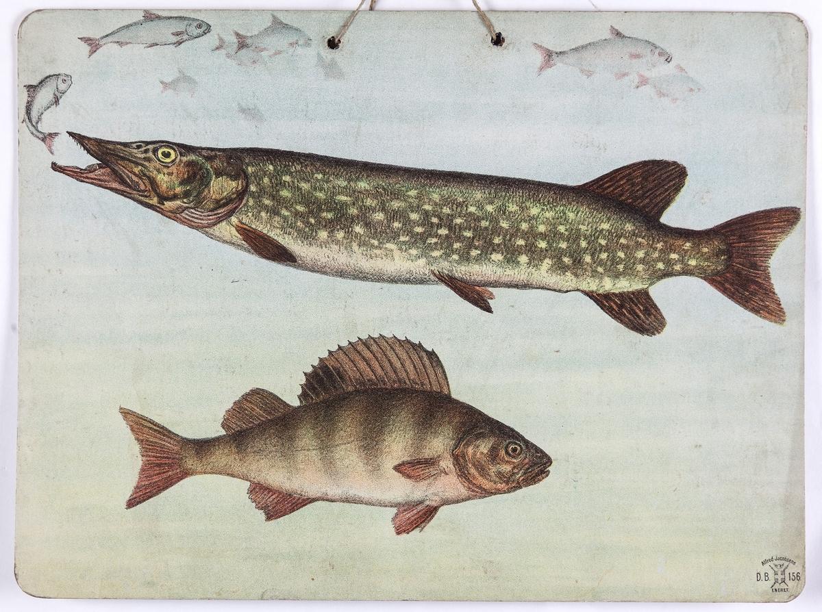 Skoleplansje, naturfag. Illustrert på begge sider, forestiller hvalross og sel (129)) og gjedde og abbor (156).