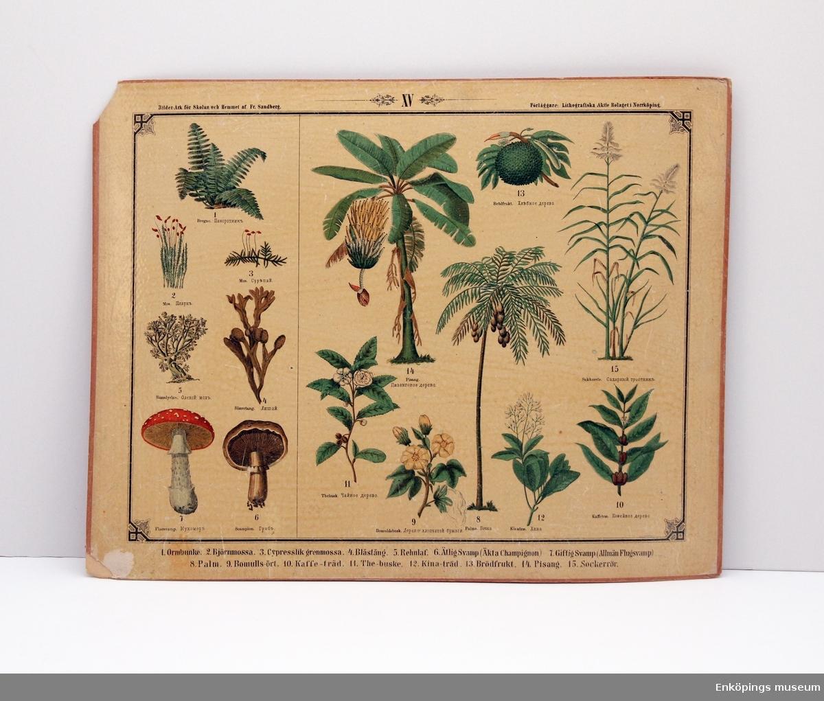 Skolplansch som visar olika Kryptogamer och andra växter. Från Litografiska Aktie Bolaget i Norrköping.  Skolplanscher användes i de flesta skolämnen under 1900-talet. År 1900 kom en ny läroplan (normalplan) där lektionerna skulle åskådliggöras för eleverna för att de skulle förstå bättre. Detta gjorde att räknestavar, skolplanscher, stora kartor och den svarta tavlan blev viktiga skolredskap.