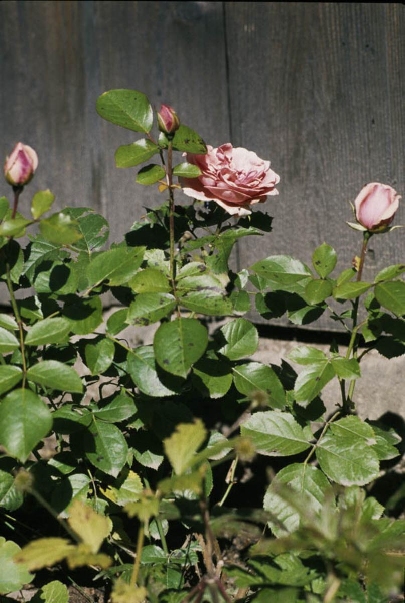 Roser i blomst