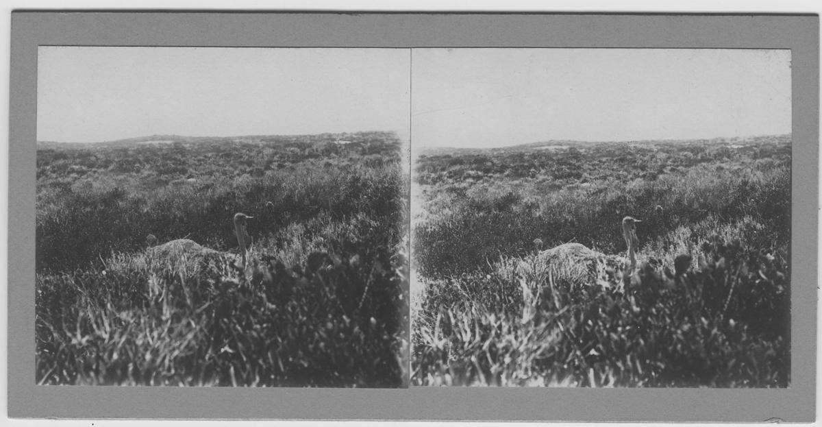 'Strutsfågel på bo. ::  :: Ingår i serie med fotonr.167-179, 181-184, 186-191, 193-196, 198-203 samt 205-215 med foton från Hilmer Skoogs expedition till Sydafrika år 1912-1913.'