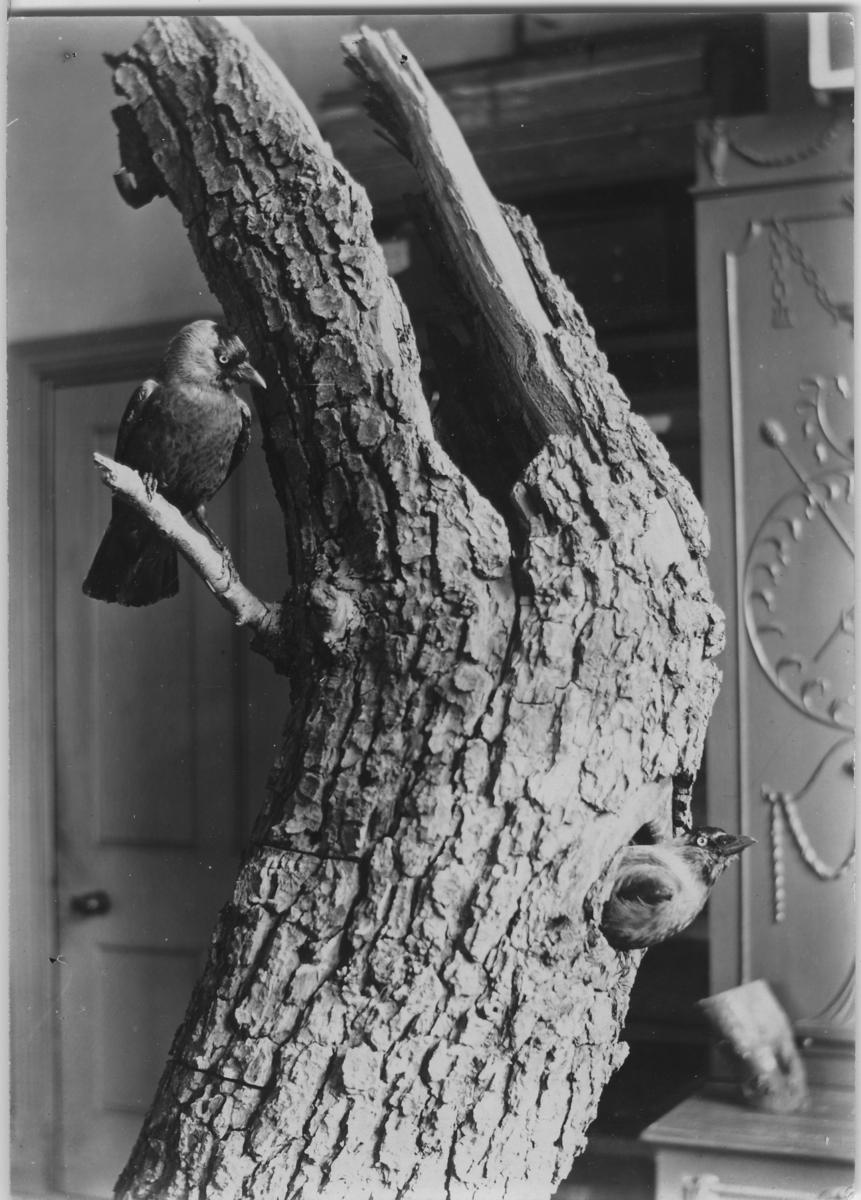 'Div. bilder på ''museala arrangemang av fåglar'', bilderna är insamlade av Leonard Axel Jägerskiöld. ::  :: Trädstubbe med 2 fåglar placerade på den. En som kikar ut från ett bo i stubben samt en som sitter på en gren lite högre upp.'