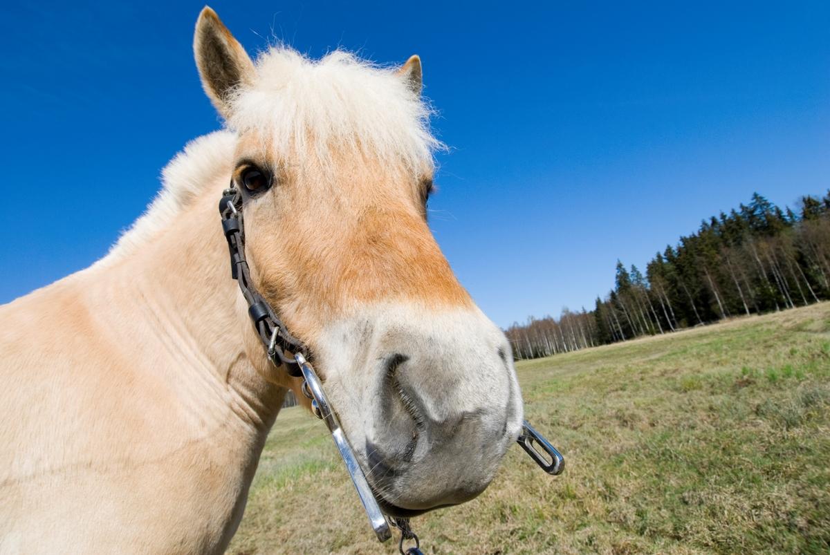 Hestehode - fjordhest