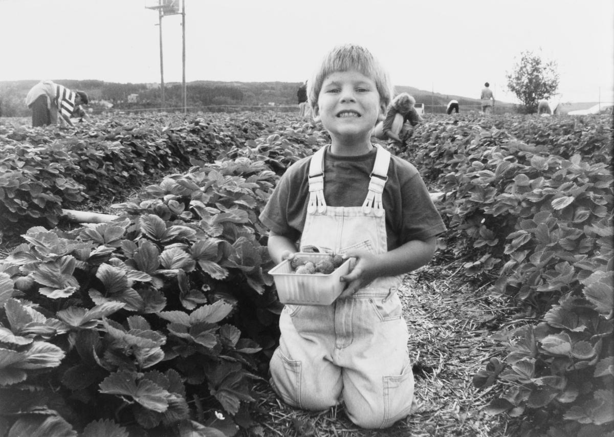 Selvplukk av jordbær hos familien Henriksen, Nedre Haug på Rotnes