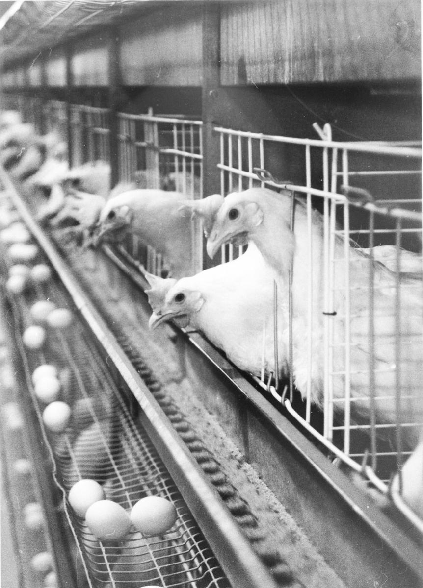 Høner på Nordby gård, hos Bente og Pål Øksne.
