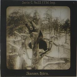 Björn som klättrat upp i ett träd i sitt hägn på Skansen. Ma