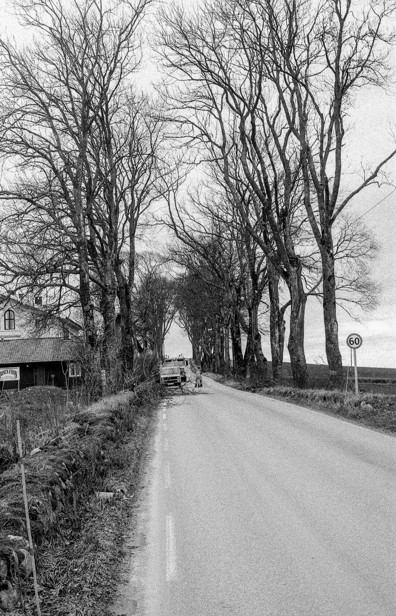 Den gamle Kongeveien i Nordby. Risaleen beskjæres, skamskjæres, mener landskapsarkitekt Vidar Ashjem i Ås. Verneverdig allé. Riis gård bak de store trærne.