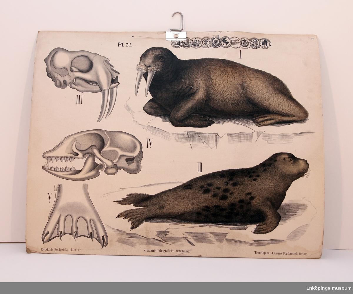Skolplansch som visar två sälarter – säl och valross. Från Litografiska Aktie Bolaget i Norrköping.  Skolplanscher användes i de flesta skolämnen under 1900-talet. År 1900 kom en ny läroplan (normalplan) där lektionerna skulle åskådliggöras för eleverna för att de skulle förstå bättre. Detta gjorde att räknestavar, skolplanscher, stora kartor och den svarta tavlan blev viktiga skolredskap.