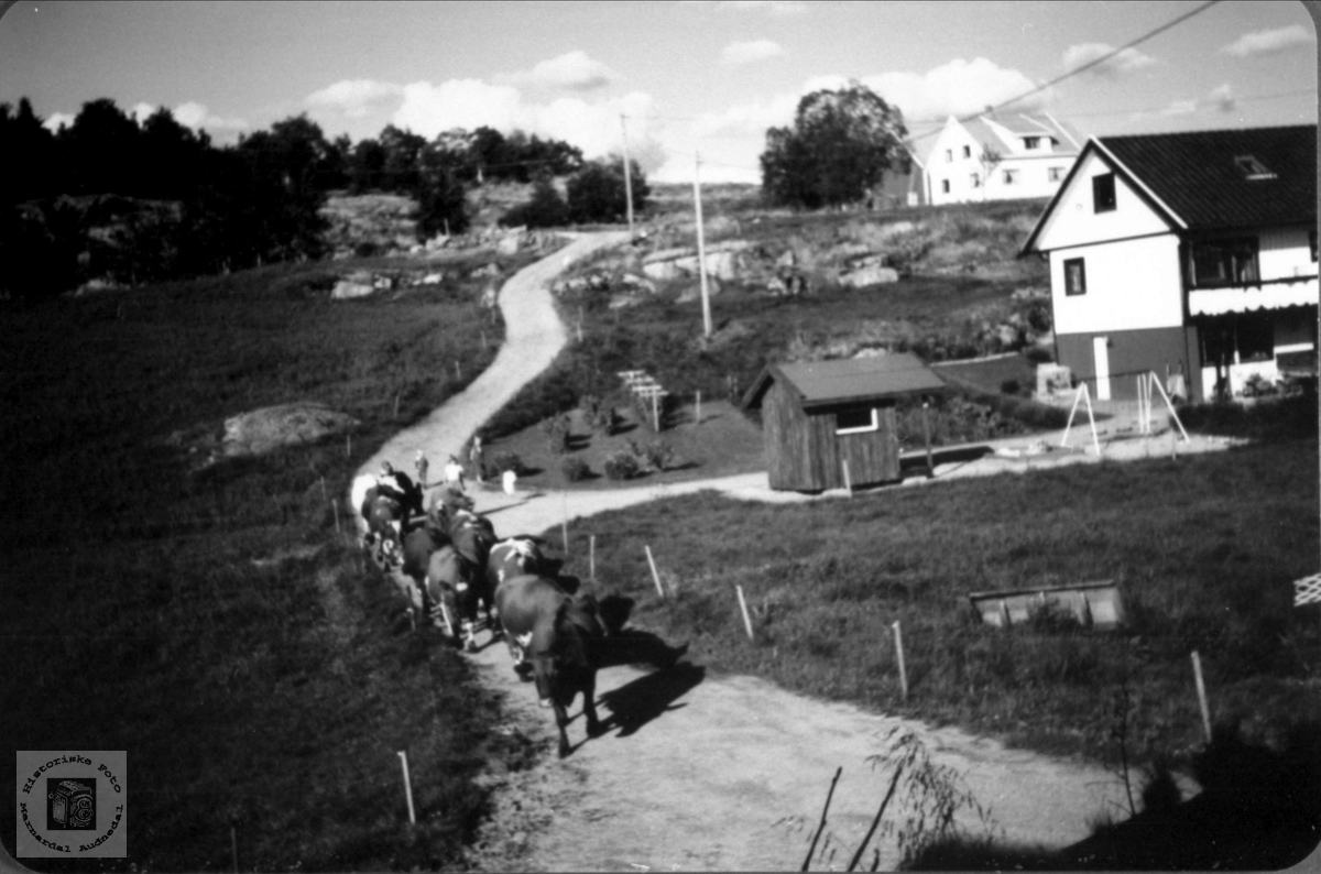 Kuflokkene skal hjem på Lindland i Laudal.
