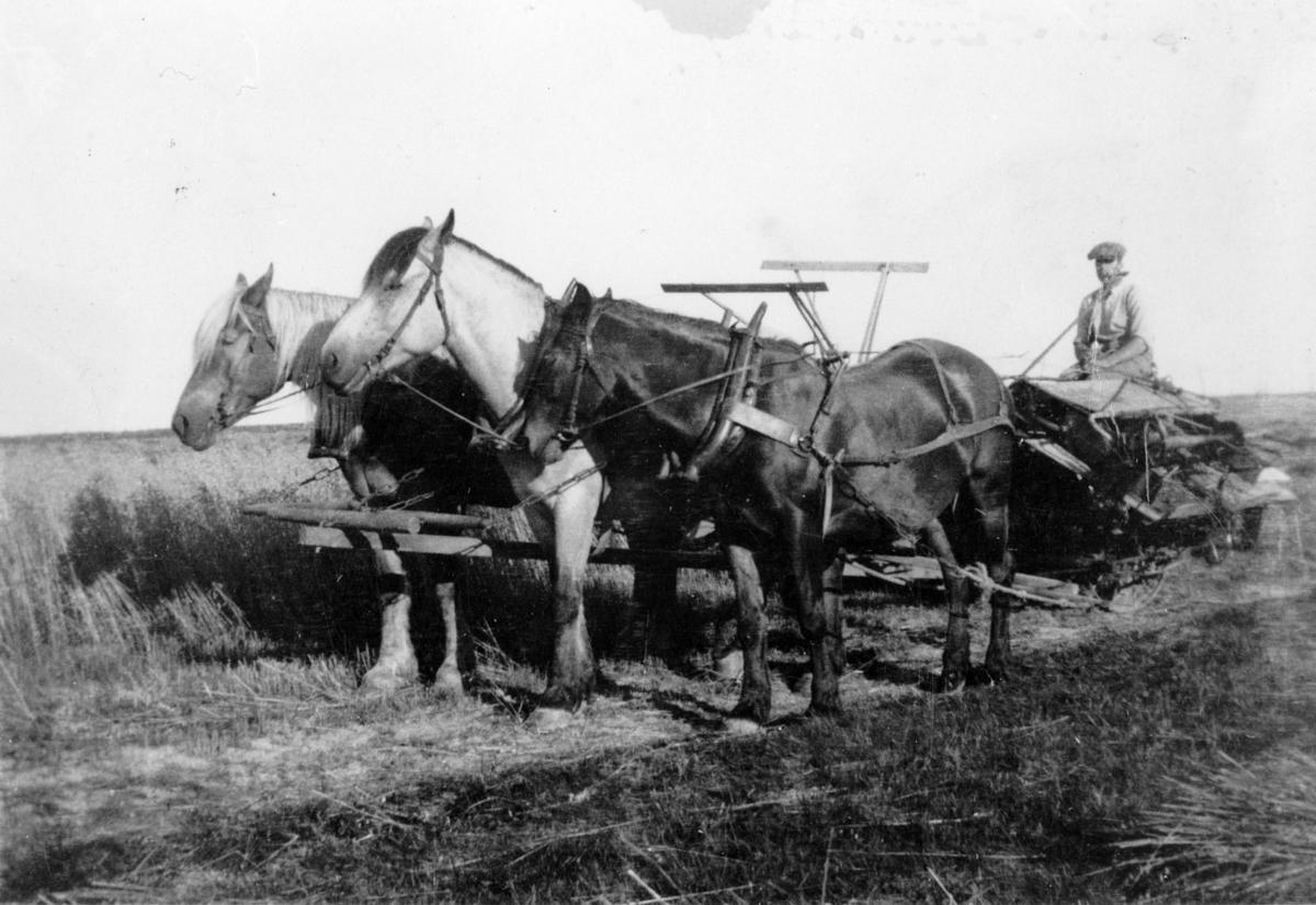 Lars Øvrum med tre hester og selvbinder.